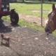 Крошечный чихуахуа выгуливает больших лошадок