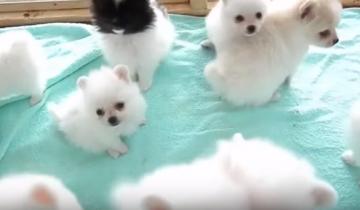 Эти щенки померанского шпица похожи на маленьких котят! Не верите?