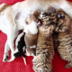 Тигрята наконец-то нашли свою маму!