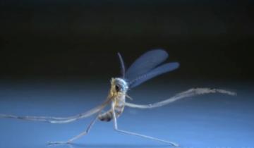 Комариный танец. Чем же на самом деле занимаются комары?