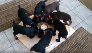 Этим маленьким щенкам дали только одну миску с молоком. И вот, что они начали делать!