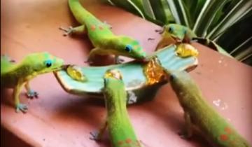 Гавайские гекконы наслаждаются ужином