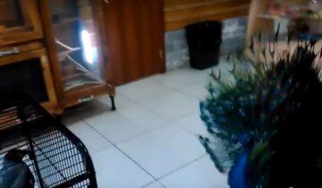 Павлин танцует для вороны брачный танец. Как отреагирует ворона?