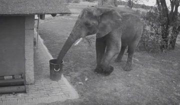 Посмотрите, что делает этот культурный слон