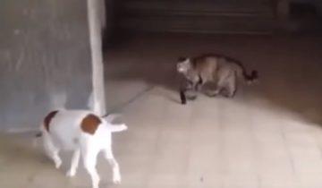 Кошка выгуливает собаку на поводке. Это невероятно!