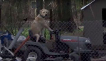 Собака на газонокосилке