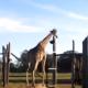 Жираф ломает ворота, посмотрите, что делает его друг
