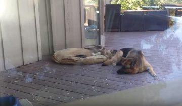 Мама-овчарка укладывает щенка спать. То, как она это делает – великолепно!