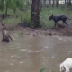 Кенгуру решил утопить собаку