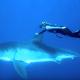 Дайвер гладит белую акулу