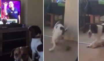 Собака смотрит соревнования по дартсу. Но как она это делает!