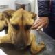 Эта собака настолько истощена, что не может подняться на лапы!