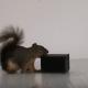 Белка хочет открыть коробку с орехами, но получится ли у нее?