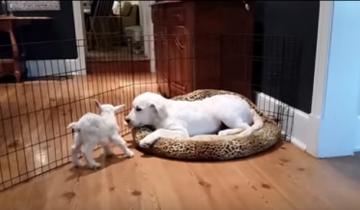 Встреча козленка и щенка