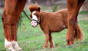 30 мимимишных миниатюрных лошадок. Дети по ним сходят с ума!