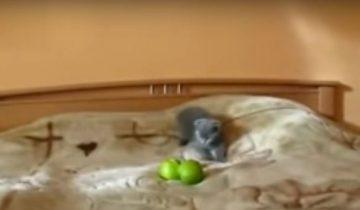 Кошка и яблока: кто победит в смертельной схватке?