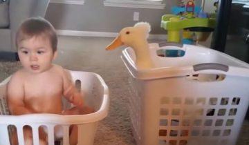 Утка устроилась няней для малыша