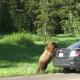 Медведь гризли решил прокатиться!