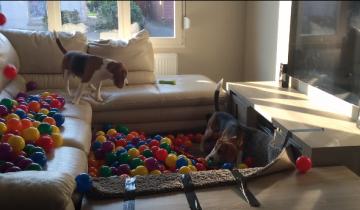 Веселые бигли отрываются в бассейне с шарами!