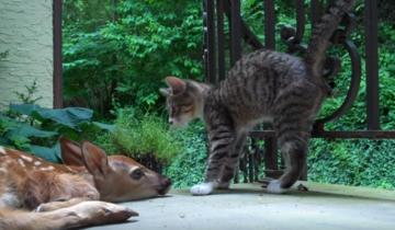 Кошка впервые увидела новорожденного олененка. Такой реакции от нее никто не ожидал!