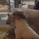 Собака смотрит фильм ужасов. Вы только посмотрите на ее реакцию!