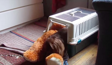 Смешная такса пытается затянуть плюшевого мишку в ящик