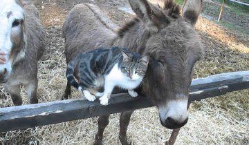 Кошка приласкалась к ослу! Очень мило!