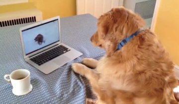 Золотистый ретривер не может понять, куда делся щенок!?