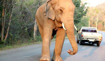 Этот слон останавливает движение на трассе. Но почему?
