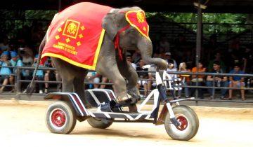 Слон катается на велосипеде
