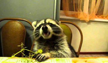 Енот кушает банан. Какой он смешной!