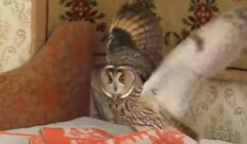 Эта сова думает, что она кошка!