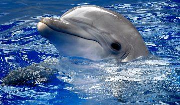 Дельфин, который ранил плавник, обратился за помощью к людям