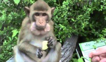 Когда вы увидите, как эта обезьянка кушает чипсы, то умрете от смеха!
