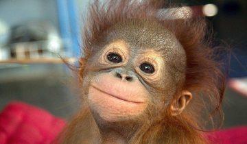Эта обезьяна гораздо культурнее людей!