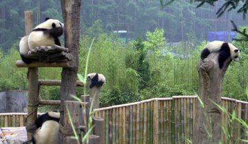 Панды съезжают с горки
