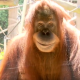 Журналистка делает репортаж о зоопарке на фоне хитро улыбающегося орангутанга