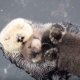 Малыш выдры спит у мамы на животике