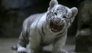 Этим детенышам белого тигра всего 8 недель от роду. Я бы их затискала!