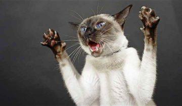 Самые агрессивные кошки