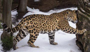 Большая кошка впервые увидела снег
