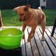 Пес балдеет от теннисной пушки
