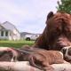 Питбуль Халк – любящий отец восьмерых щенят