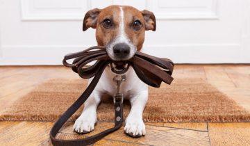 Перспектива прогулки просто окрыляет этого пса!