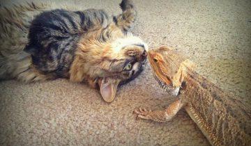 Настоящая дружба кота и ящерицы