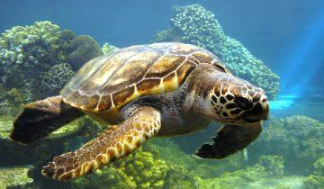 Морская черепаха хочет подружиться с аквалангистом