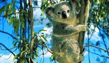 Эту коалу согнали с дерева. Вы только посмотрите, что она сделала!
