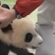Панда «напала» на фотографа