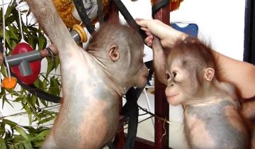 Маленькие орангутанги увидели друг друга первый раз. Их реакция потрясающая!