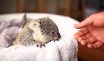 Детеныш коалы, какой же он милый
